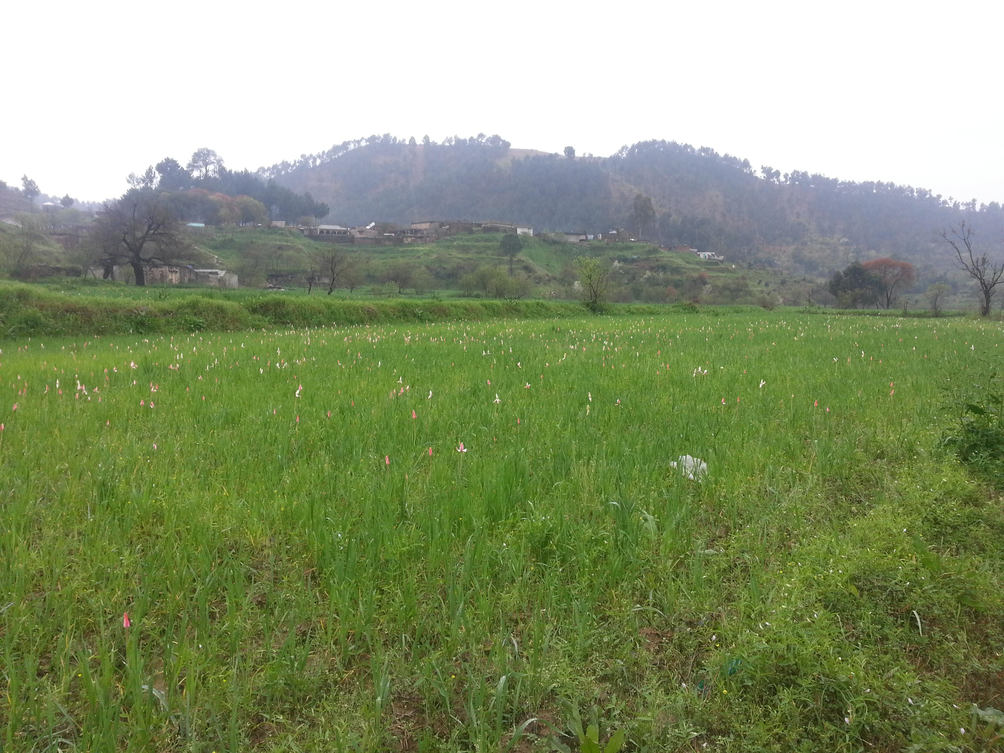 Ghanttol flower in the fields