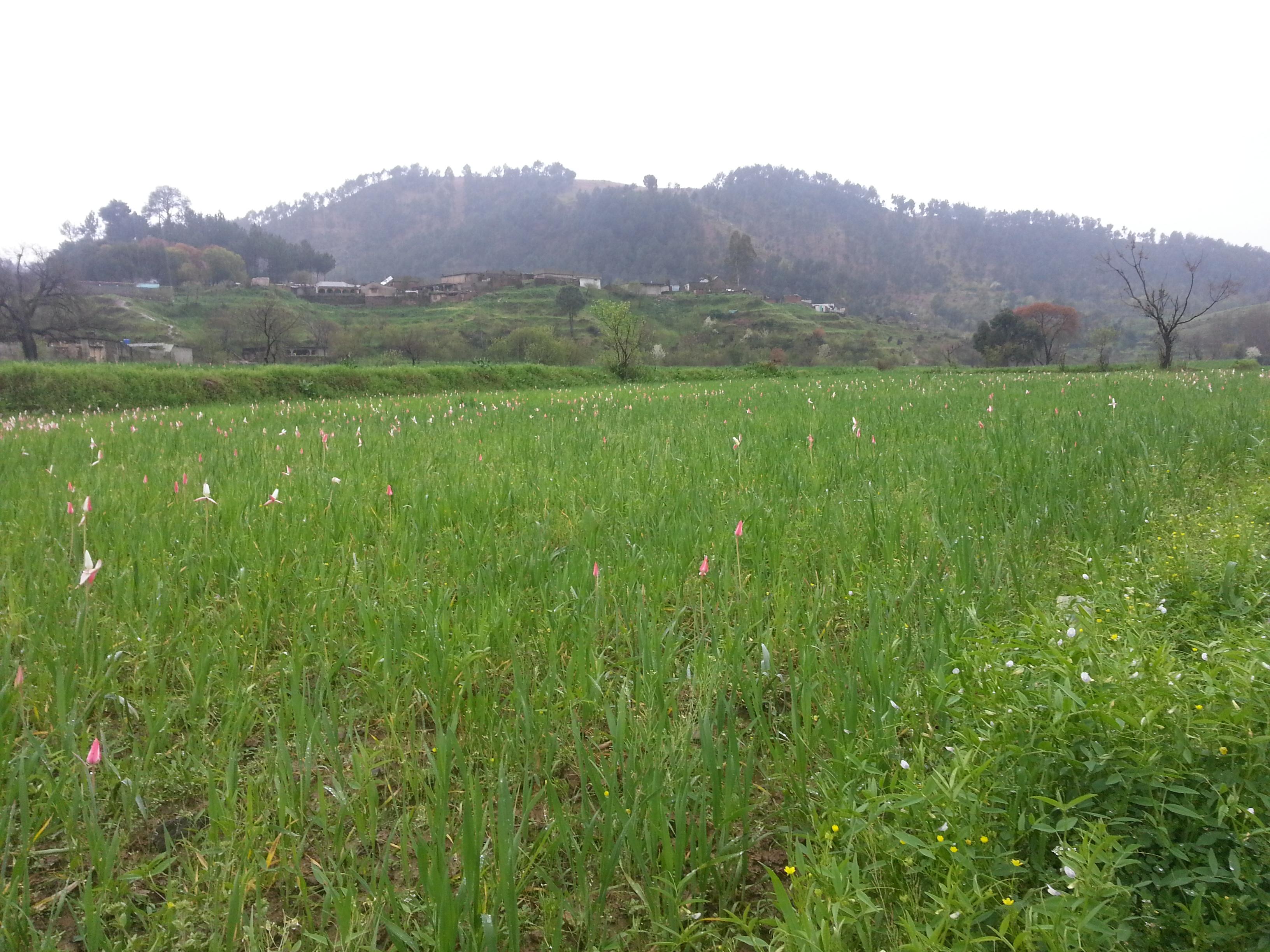 Wheat field with Ghanttol flowers