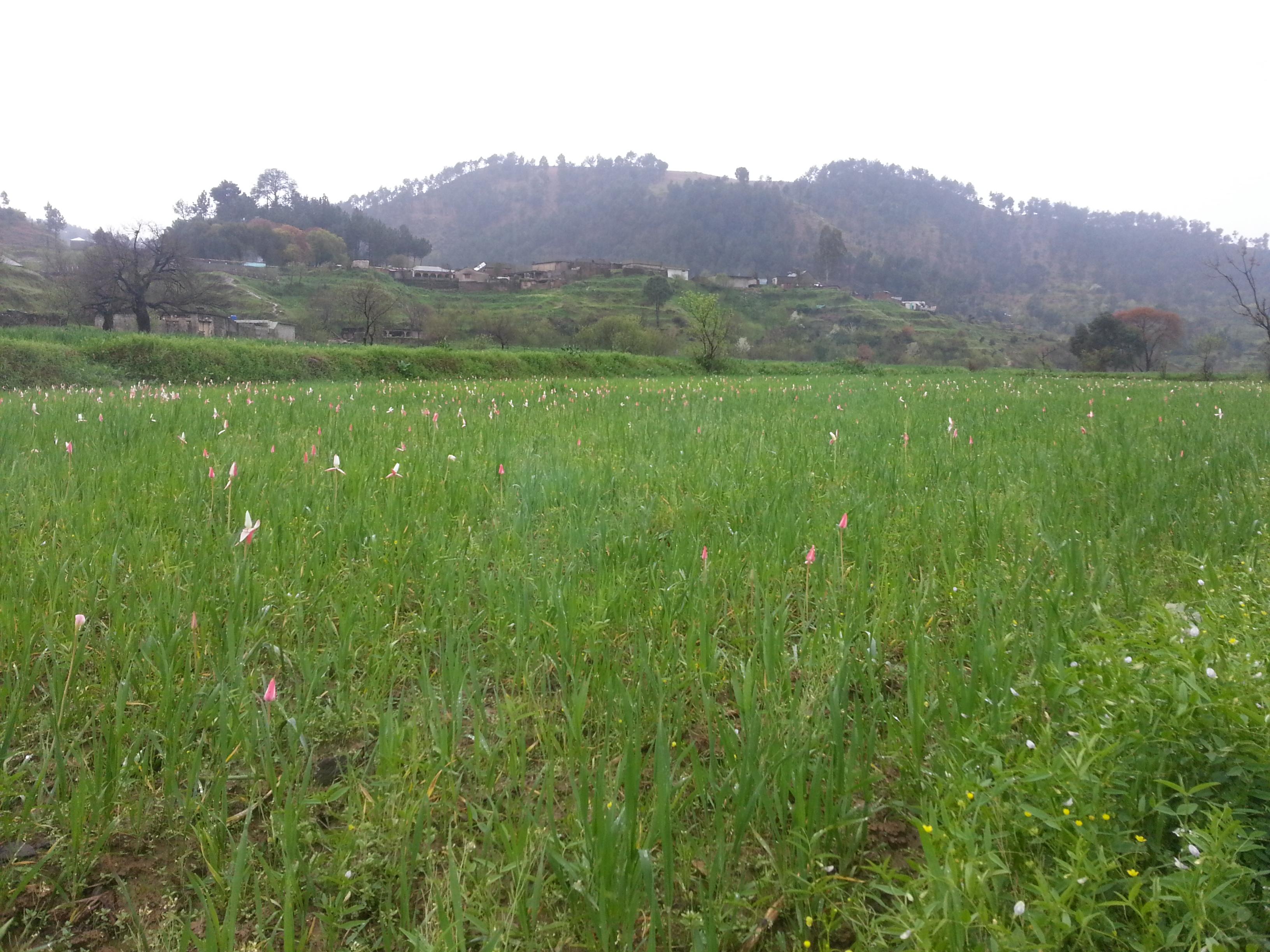 Ghanttol flowers in the field