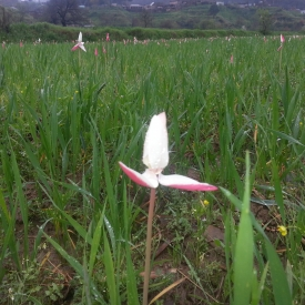 A focused Ghanttol flower
