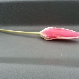 A lonely Ghanttol flower on car dashboard